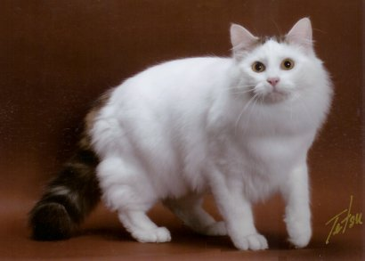 1000+ images about calico turkish van cats on Pinterest ...
